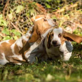 Baby Basset Hounds